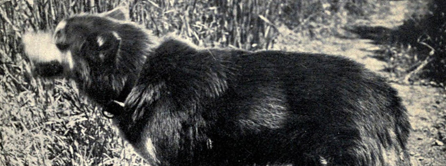 Jack London's Hund Brown Wolf, 1921.